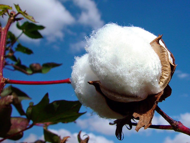 san-xuat-vai-cotton