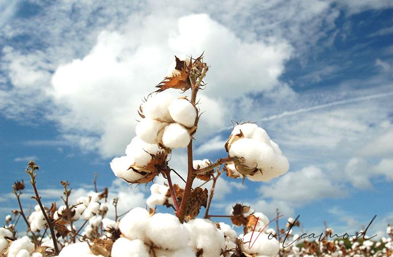 kien-thuc-vai-cotton